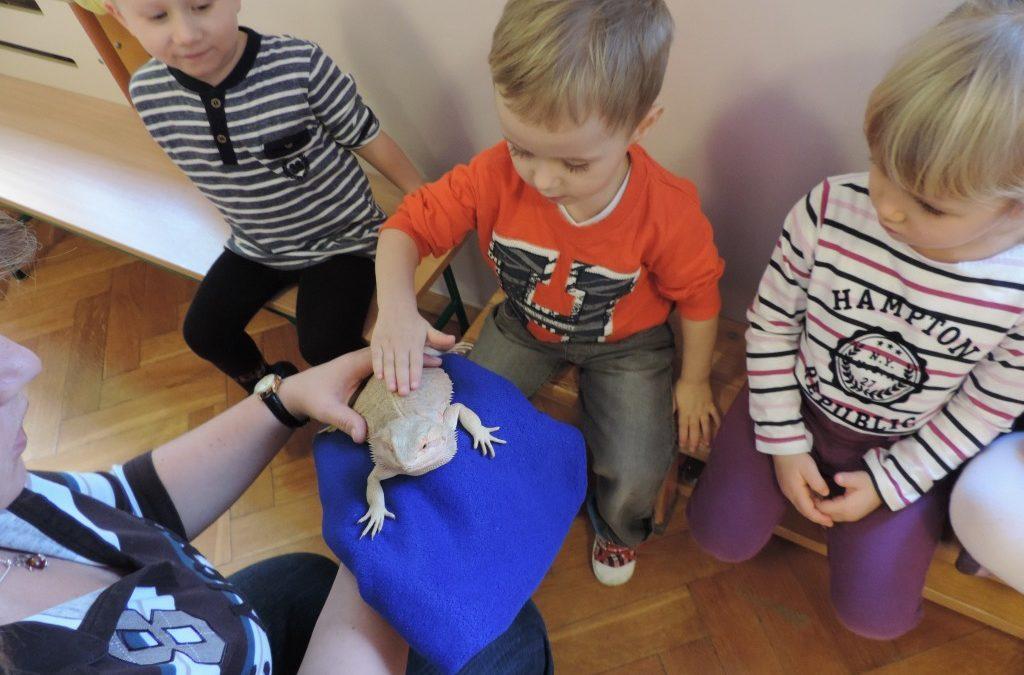 Spotkanie ze zwierzętami – jaszczurka Agama Brodata